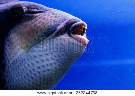 Macro Fish Blue-necked Balistod, Balistoides Viridescens