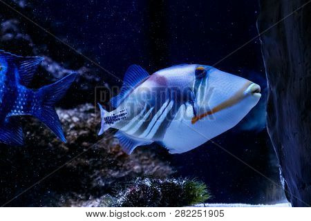Fish Painted Triggerfish Rhinecanthus Aculeatus