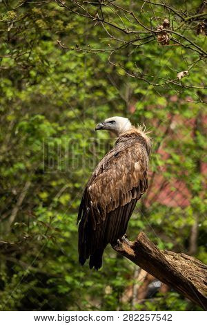 A griffon vulture in the enclosure on a branch poster