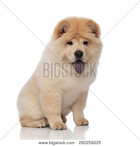 cute chow chow with blue tongue exposed looks down to side while sitting on white background poster