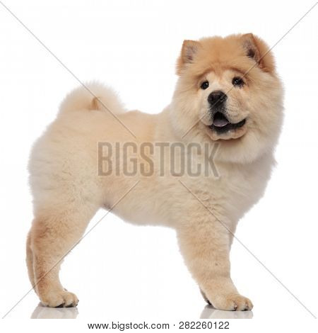 side view of cute chow chow with blue tongue exposed standing and looking to side poster