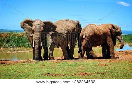 Three Elephants At A Waterhole. Beautiful African Landscape. Wildlife. Amazing Image. Sweet Memories