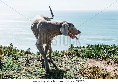 A Weimaraner or Weimar Pointer breed dog walks outdoors against the backdrop of the sea. poster