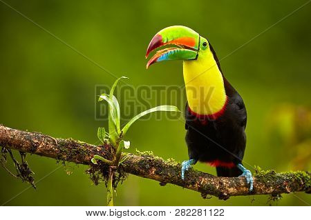 Portrait Of Keel-billed Toucan (ramphastus Sulfuratus) Perched On Branch At Tropical Reserve. In Cos