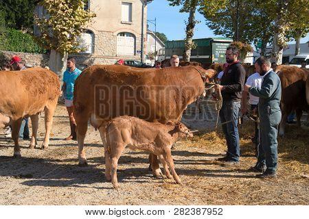 SAINT-GERMAIN-LES-BELLES-NOUVELLE-AQUITAINE-FRANCE-OCTOBER 13,2018: Limousin cow market en october 13, 2018