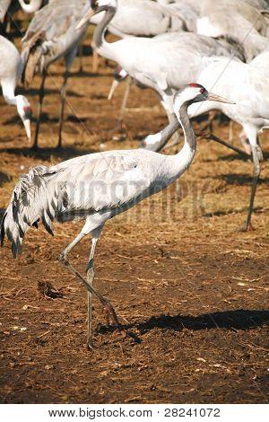wild birds: common crane (latin: grus grus) life on field poster