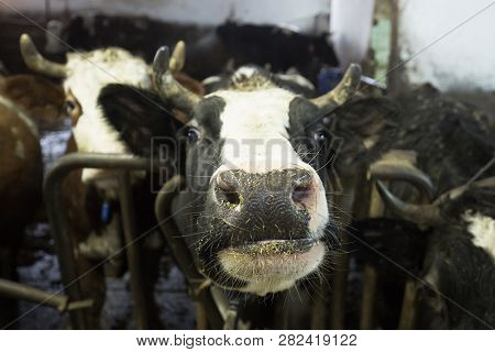 Cattle In A Stall On A Farm. Meat And Milk Production, Agriculture Industry, Animal Welfare And Anim