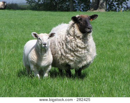 a ewe and lamb sheep in a field poster