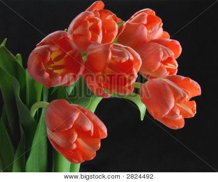 Pink Tulips Black Background