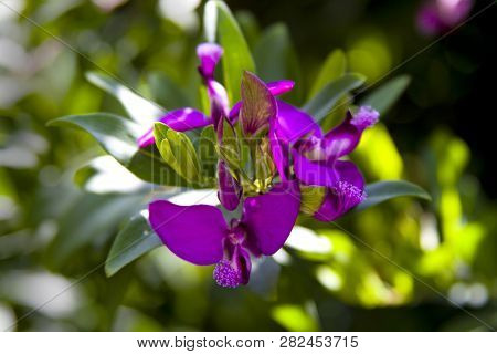 Polygala Myrtifolia, Myrtle-leaf Milkwort, September Bush, Shrub With Oval Green Leaves And Mauve To