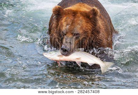 A grizzly bear hunting salmon at Brooks falls. Coastal Brown Grizzly Bears fishing at Katmai National Park, Alaska. Summer season. Natural wildlife theme.