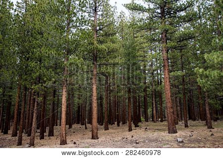 Jeffrey Pine Trees Forest On Mammoth Scenic Loop Road In Mammoth Lakes, California Along The Inyo Cr