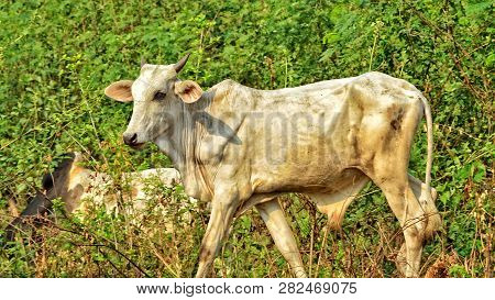 African Cattle. White Cow With The Green Trees In The Background. Husbandry. Beautiful Rural Landsca