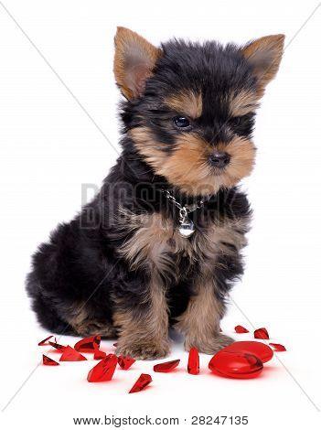 Yorkshire Terrier Broken Heart