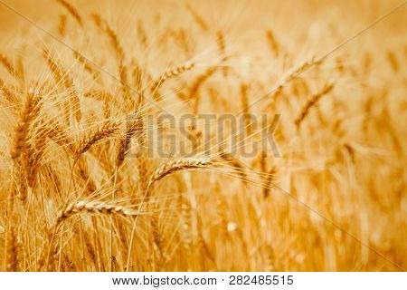 Ripe Wheat Ears In A Field. Wheat Field.ears Of Golden Wheat Close Up. Background Of Ripening Ears O