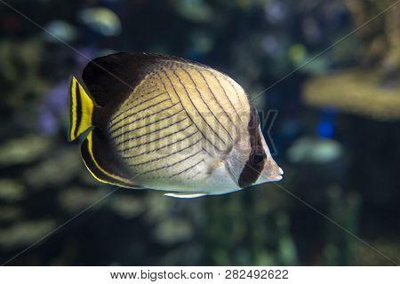 Vagabond Butterflyfish (chaetodon Vagabundus) - Coral Fish, Close Up, Detail