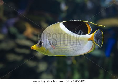 A Saddled Butterflyfish, Chaetodon Ephippium - Coral Fish
