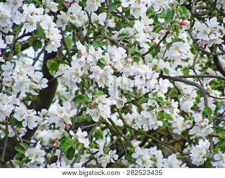 Background Of Bright Beautiful Apple Branches In Florescence