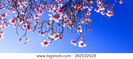 Sprouts Of Magnolia Tree On Background Of Blue Sky, During Spring Period. Budded Branch With Pink Fl