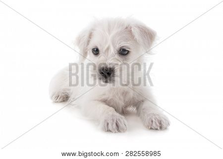 Maltese Westie or West Highland Terrier puppy dog isolated on white background