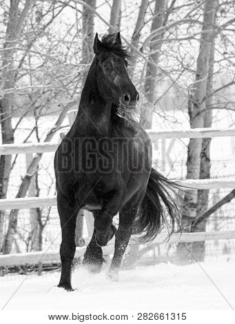 Black And White Image Of A Black Friesian Horse In The Cold Canadian Winter