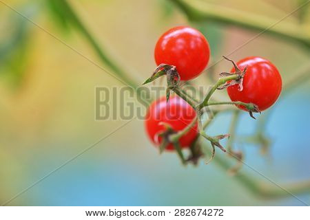 Branch Of Red Ripe Tomatoes In Garden