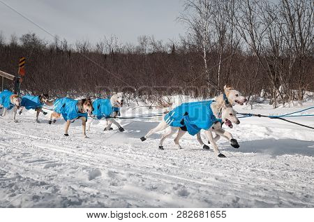 Sled Dog Team Races By - Motion Blur