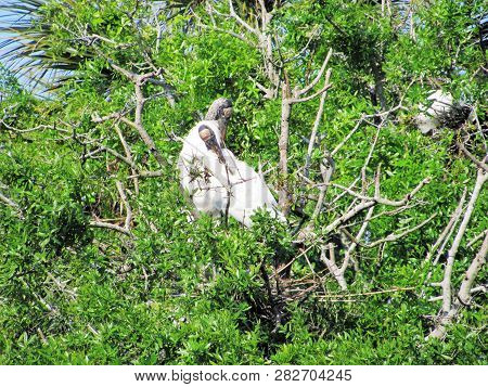 Storks Are Large Wading Birds Of The Tropics And Subtropics. They Belong To The Order Ciconiiformes,