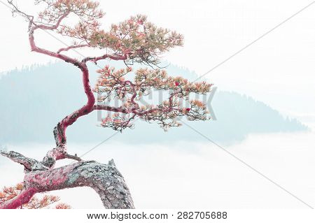 Relict Pine On A Background Of Blue Mountains, The Concept Of Peace, Tranquility And Meditation