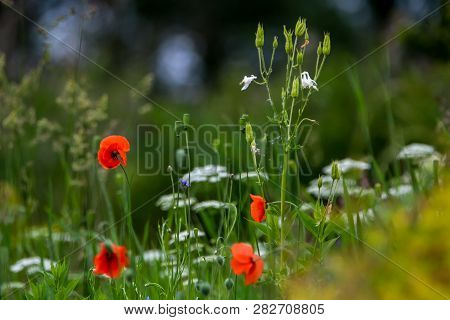 Red Blooming Poppy Flowers On A Green Grass. Garden With Poppy Flowers. Nature Field Flowers In Mead