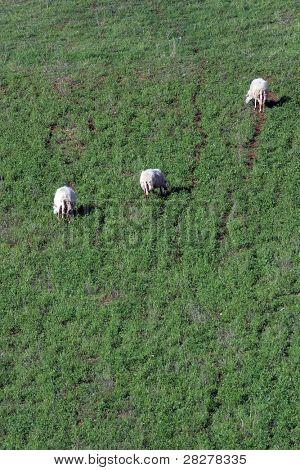 Sheep Grazing in a Green Meadow