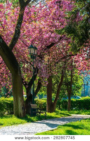 Cherry Blossom In The Park. Beautiful Urban Scenery In The Morning. Scene With Bench And Lantern. Su