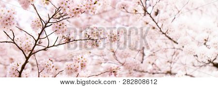 Cherry blossom in full bloom. Tranquil Spring Japanese cherry blossoms with darker flower buds. Shallow depth of field for dreamy feel.