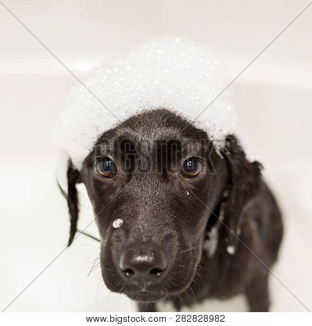 Dog Labrador Retriever Washes His Head In The Bathroom. A Cute Black Little Puppy Labrador Retriever