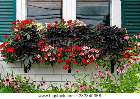 Purple sweet potoato vine along with petunias and verbena growing in a olorful window box.