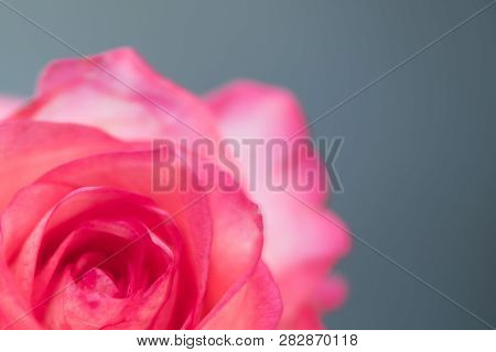 One Pink Rose On A Blue Background In The Studio
