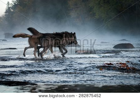 Two Grey Wolves (canis Lupus) Run Into Foggy River Autumn - Captive Animals