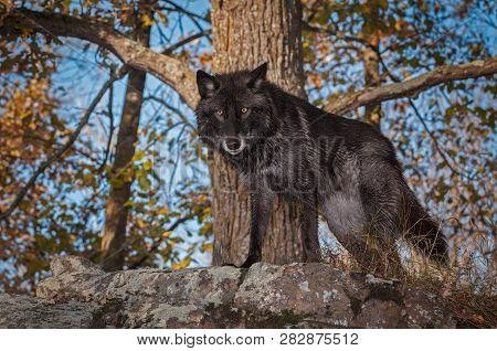 Black Phase Grey Wolf (canis Lupus) Stands Atop Rock Autumn - Captive Animal