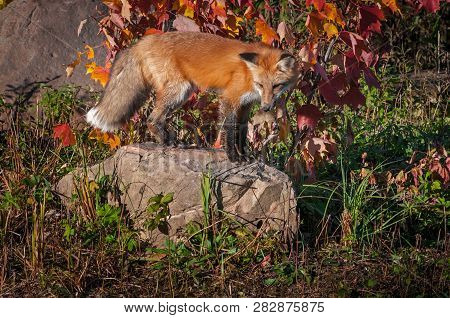 Red Fox (vulpes Vulpes) Stands On Rock Looking Down Autumn - Captive Animal