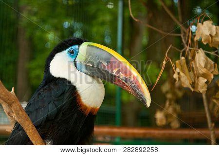 The Toco Toucan (ramphastos Toco)