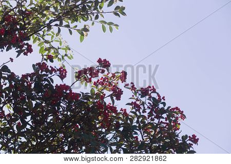 Red Berries Growing On A Leafy Tree, With Blue Sky Background, In San Francisco, California