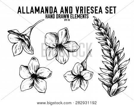 Vector Collection Of Hand Drawn Black And White Allamanda, Vriesea