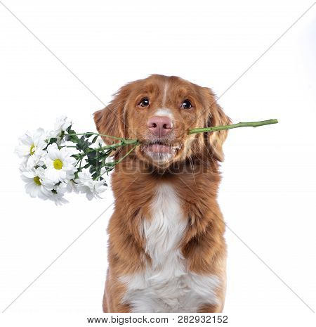 The Dog Holds The Teeth Flowers. Nova Scotia Duck Tolling Retriever On A White Background. Funny Pet