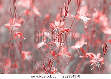Small flowers of coral color   ( Siskiyou Pink Gaura)  in the sunlight at summer morning.  Toned image. Selective focus.
