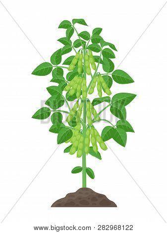 Soybean Plant Vector Illustration Isolated On White Background. Soya Bean In Flat Design Growing In
