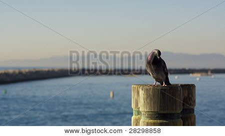 Pigeon Resting on Pier