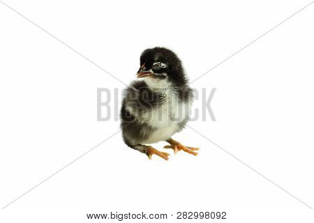Cute Little Black And Yellow French Copper Maran Chicken / Chick Isolated Over A White Background.
