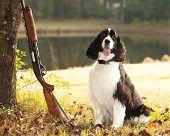 spaniel hunting dog posing with shotgun poster