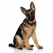 classy german shepard wearing red bowtie sits on white background poster