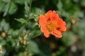 Orange avens cultivar - Latin name - Geum * heldreichii poster